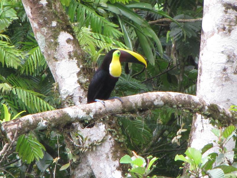 Chestnut-mandibled Toucan - La Selva Biological Station - Costa Rica