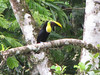 Chestnut-mandibled Toucan - La Selva Biological Station - Costa Rica