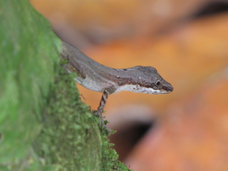 Ground Anole - La Selva Biological Station - Costa Rica