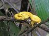 Eyelash Viper - La Selva Biological Station, Costa Rica