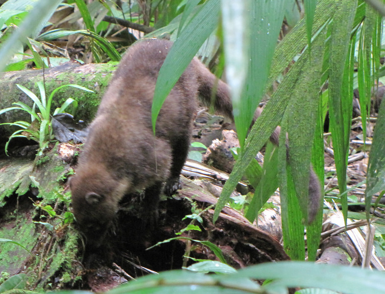 White-nosed Coati - La Selva Biological Station - Costa Rica