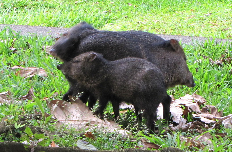 Mom and Kids Loving On Each Other - Collared Peccary - La Selva Biological Station - Costa Rica