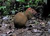 Central American Agouti - La Selva Biological Station, Costa Rica