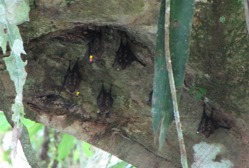 Great White-lined Bats by Bridge - Saccopteryx bilineata - La Selva Biological Station - Costa Rica
