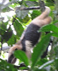 Northern Tamandua - Anteater Moving Down a Tree in Dense Rainforest - La Selva Biological Station - Costa Rica