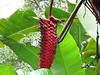 Heliconia Plant - La Selva Biological Station, Costa Rica