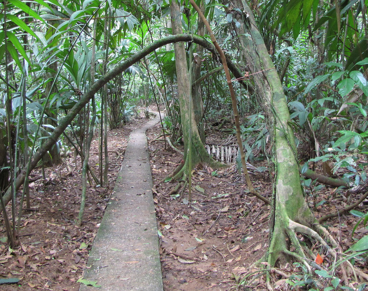 Some Vines Are Tied Up To Keep From Being Trampled On - La Selva Biological Station - Costa Rica