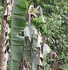 Bananas Growing by Bridge - La Selva Biological Station - Costa Rica