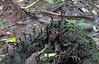 Fungus Known as Dead Man's Fingers - La Selva Biological Station, Costa Rica