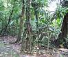 Walking Palm Tree - La Selva Biological Station, Costa Rica