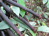 Walking Palm Puts Out New Shoots to Move Itself - La Selva Biological Station, Costa Rica