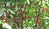 Fruit Filled Trees - La Selva Biological Station, Costa Rica