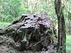 Huge Stump in Arboretum Area - La Selva Biological Station - Costa Rica