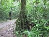 Walking Palm - La Selva Biological Station, Costa Rica