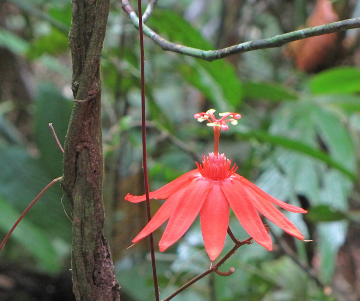 Passion Flower by Twisted Tree - La Selva Biological Station - Costa Rica
