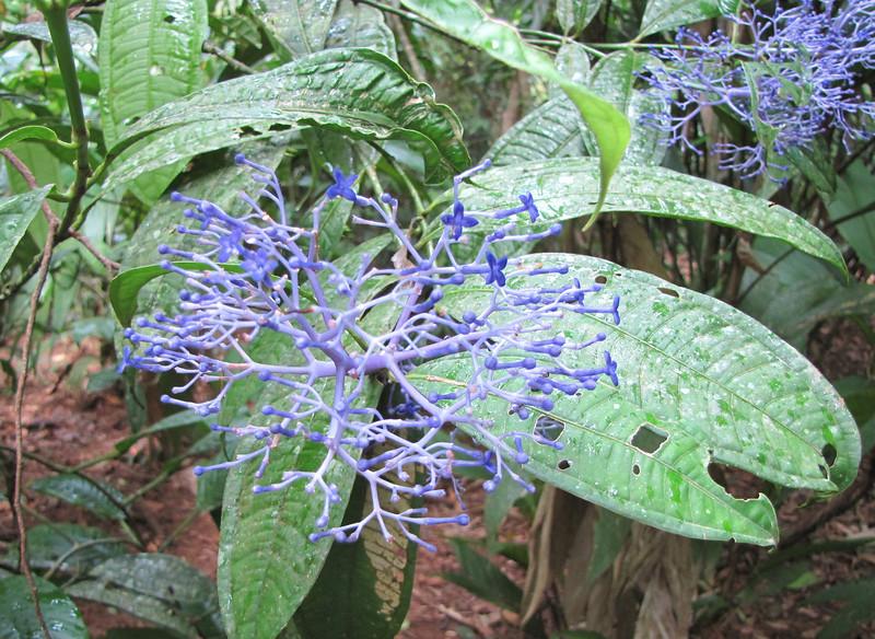 Unknown Flower in Forest - La Selva Biological Station - Costa Rica