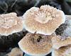 Unknown Fungus on Log - La Selva Biological Station, Costa Rica