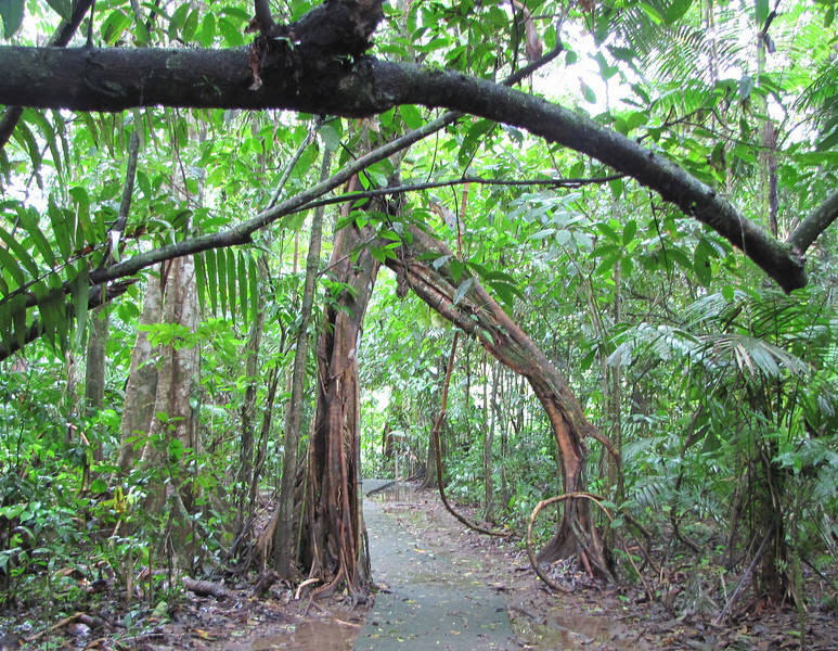 Arch In The Forest - La Selva Biological Station - Costa Rica