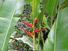Heliconia psittacorum - La Selva Biological Station, Costa Rica