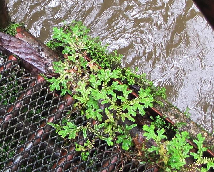 Plants on a Bridge - Everything Wants a Spot of Sunshine - La Selva Biological Station - Costa Rica