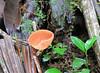 Unknown Fungus - La Selva Biological Station, Costa Rica