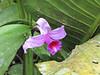 Orchid by Registration Bldg. - La Selva Biological Station - Costa Rica