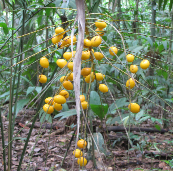 Fruit on Palm Tree - La Selva Biological Station - Costa Rica