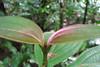 Unknown Plant - La Selva Biological Station, Costa Rica