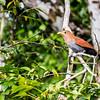 Squirrel cuckoo, Alajuela