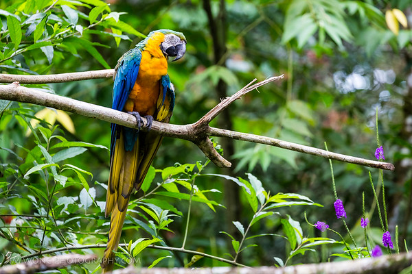 Blue macaw, Alajuela