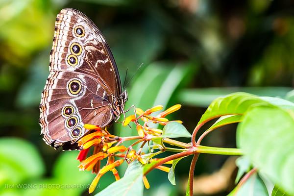 Blue morpho butterfly, Alajuela