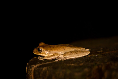 We photographed this Tawny Tree Frog on a tree stump early one evening in the rainforest of Boca Tapada, Costa Rica.