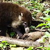 Arenal. 12th January 2017. White-nosed Coati.