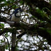 Arenal Lava Trail. 12th January 2017. White-throated Magpie-Jay.