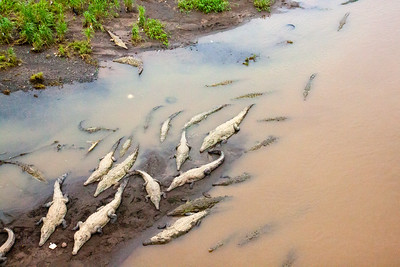 River Crocodiles -- Costa Rica
