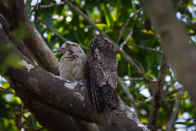 We had never heard of a Common Potoo and truly never expected to see a mother and chick in the wild.   These birds are masters of camouflage and often take a cryptic pose  where they blend into the brand they are roosting upon, the Osa Peninsula, Costa Rica.
