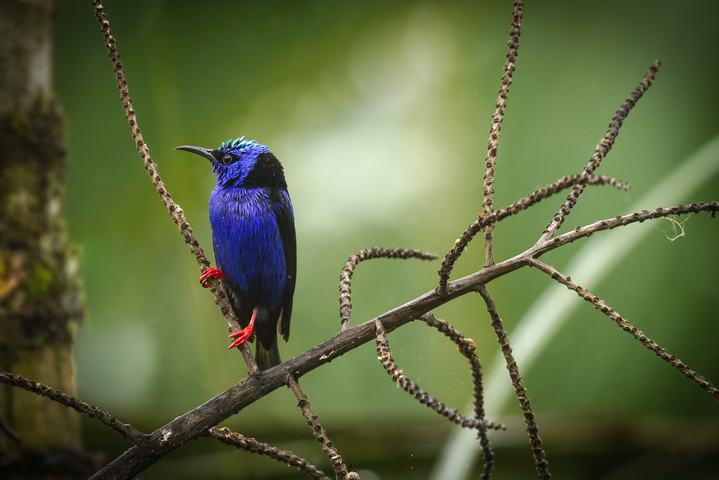 A beautiful close up of a Red Legged Honey Creeper during a rain shower in Boca Tapada, Costa Rica.