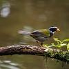 Cope Arte, 9th January. Orange-billed Sparrow.
