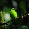 Cope Arte, 9th January. Female Green Honeycreeper.