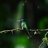 Cope Arte, 9th January. Violet-headed Hummingbird.