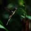Cope Arte, 9th January. Long-billed Hermit.