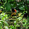 Cope Arte, 9th January. Passerini's Tanager.