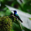 Cope Arte, 9th January. White-necked Jacobin.