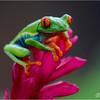 Red-eyed Leaf-Frog = Senderos Bogarin in La Fortuna, Costa Rica