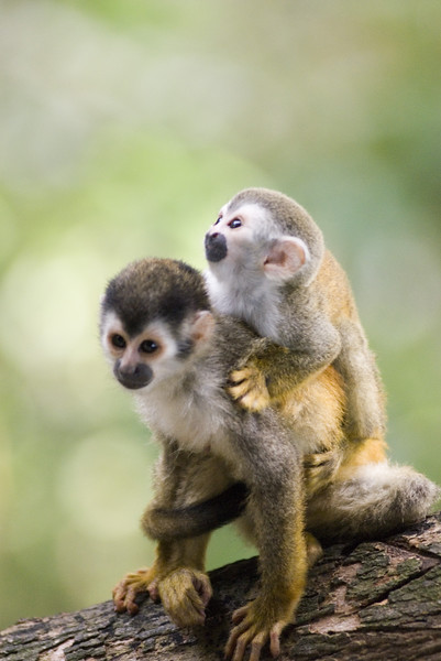 A red backed squirrel monkey with her baby (also called mono titi)  in Costa Rica, Central America. These monkeys are rare and endangered with less than 1,000 left in the world.