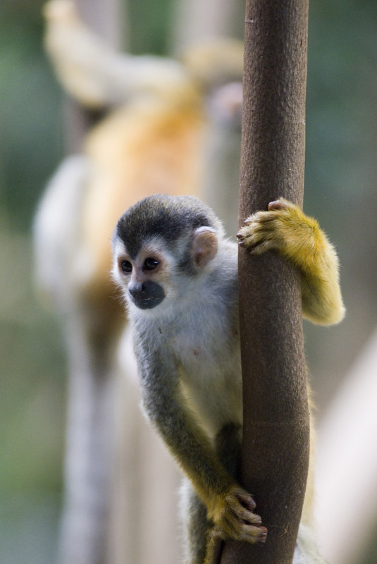 A red backed squirrel monkey with her baby (also called mono titi).