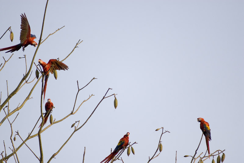Macaw Colony in Costa rica