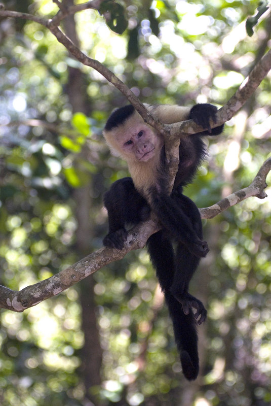A lazy Capuchin (also known as white faced) monkey trying to rest and relax in a tree in  Manuel Antonio Park in Costa Rica, Central America. Costa Rican Wildlife photographed by a professional wildlife and nature photographer named Christina Craft.