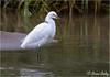 Snowy Egret - Rio Tarcoles, Costa Rica