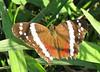 Finca Luna Nueva - Banded Peacock Butterfly